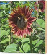 Sunflower 133 Wood Print
