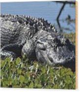 Sunning Gator Wood Print