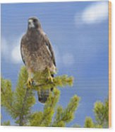 Swainson Hawk Wood Print