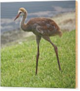 Sweet Juvenile Sandhill Crane Wood Print