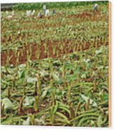 Taro Field Wood Print