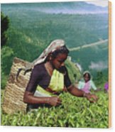 Tea Pluckers Wood Print