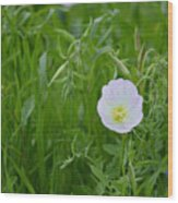 Texas Primrose  Wood Print