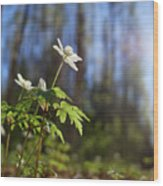 The Morning. Wood Anemone Wood Print