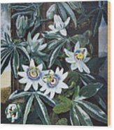 Thornton: Passion-flower Wood Print