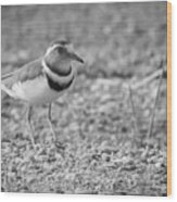 Three Banded Plover Wood Print
