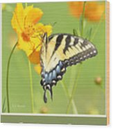 Tiger Swallowtail Butterfly On Cosmos Flower Wood Print