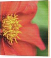 Tithonia Rotundifolia, Red Flower Wood Print