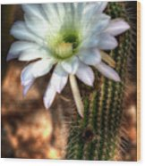 Torch Cactus - Echinopsis Candicans Wood Print