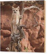 Treed Mountain Lion Wood Print