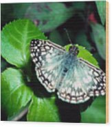Tropical Checkered Skipper Wood Print by Thomas R Fletcher