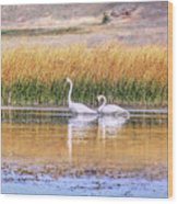 Tranquil Trumpeter Swans Wood Print