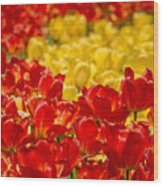 Tulips At Ottawa Tulips Festival Wood Print