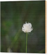 Tussock Cottongrass Wood Print