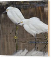 Two Snowy Egrets Wood Print
