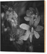 Vanishing Beayty Of Hepatica Wood Print