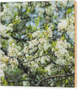 Vermont Apple Blossoms Wood Print