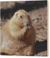 Very Large Overweight Prairie Dog Sitting In Dirt Wood Print