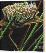Water Beetle Brooding Eggs Wood Print