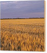 Wheat Crop In A Field, North Dakota, Usa Wood Print