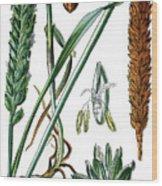 Wheat, Triticum Vulgare Wood Print