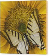 White Butterfly On Sunflower Wood Print