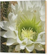 White Cactus Flower Wood Print