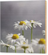 White Daisies Wood Print