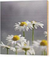 White Daisies Wood Print by Carlos Caetano