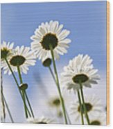 White Daisies Wood Print by Elena Elisseeva
