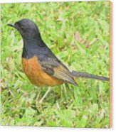 White-rumped Shama Wood Print