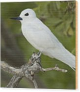 White Tern  Midway Atoll Hawaiian Wood Print by Sebastian Kennerknecht