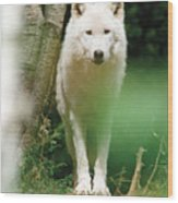 White Wolf Stare Wood Print