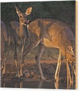 Whitetail Deer At Waterhole Texas Wood Print