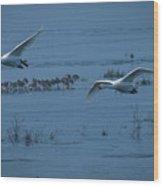 Whooper Swans In Flight Wood Print