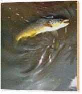 Wild Brown Trout Wood Print