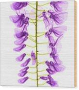 Wisteria Flowers, X-ray Wood Print