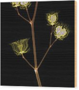 X-ray Of The Velvet Leaf Seed Pods Wood Print