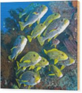 Yellow And Blue Striped Sweeltip Fish Wood Print by Mathieu Meur