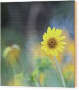 Yellow Arrowleaf Balsamroot  Wood Print