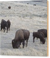 Yellowstone Bison Wood Print