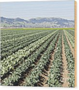 Young Broccoli Field For Seed Production Wood Print