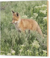 Young Red Tailed Fox Wood Print
