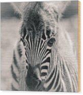 Zebra Colt In Spring Wood Print