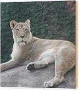 Zoo Lion Wood Print