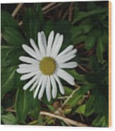 10-15-16--4996 Montauk Daisy Don't Drop The Crystal Ball Wood Print