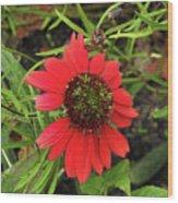 10-27-16--1980 Echinacea Cheyenne Spirit Don't Drop The Crystal Ball Wood Print
