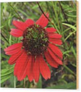 10-27-16--1982 Echinacea Cheyenne Spirit Don't Drop The Crystal Ball Wood Print