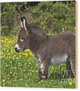 Miniature Donkey Foal Wood Print