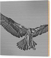 Osprey Flight Wood Print